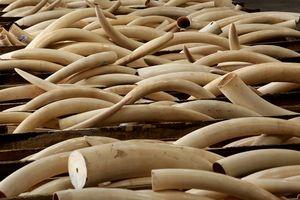 Cục Hải quan Hà Nội tạm giữ 47 kg ngà voi chuyển qua đường bưu điện từ Đức về Việt Nam