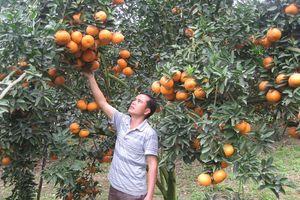 Hà Giang mang cam sành giới thiệu tại Hà Nội