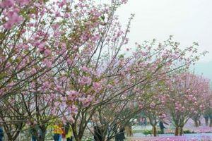 Lễ hội hoa anh đào 2018 diễn ra 4 ngày tại khu vực Vườn hoa Tượng đài Lý Thái Tổ