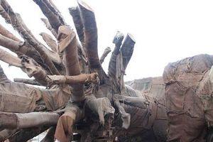 Vụ cây 'siêu khủng' ở Thừa Thiên Huế: Chủ cây đã trình 3 bộ hồ sơ gốc