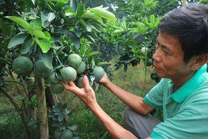 Làm giàu nhờ trồng cam sành