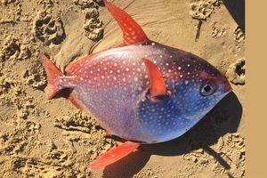 Ngư dân Phillipines bắt được 'cá mặt trăng' khổng lồ