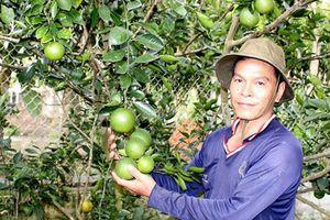 'Hốt bạc' nhờ trồng cam mật không hạt