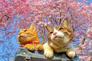 2 chú mèo du lịch khắp Nhật Bản cùng ông chủ doanh nhân