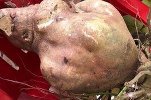 Vĩnh Long: Củ khoai lang 'khủng', nặng gần 9kg