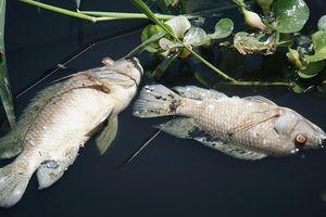 Đà Nẵng: Gần 1 tấn cá chết chưa rõ nguyên nhân tại hồ điều hòa