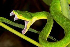 Báo động nhiều trường hợp bị rắn lục đuôi đỏ cắn