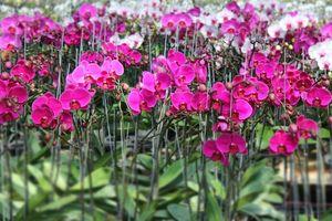 TP. Hồ Chí Minh sắp có Fetival hoa lan lần đầu tiên