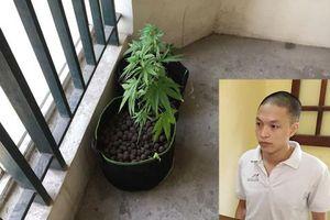 Kỹ sư đồ họa thuê chung cư cao cấp ở Hà Nội cùng bạn gái trồng cần sa