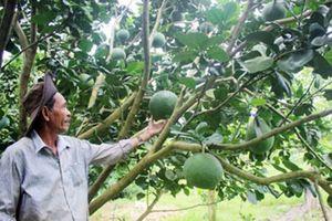 Lão nông giữ đất 'khỏe' để cây đặc sản sinh vàng