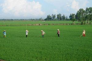 An Giang khuyến cáo không mở rộng diện tích lúa Thu Đông