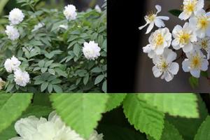 Kỹ thuật trồng hoa hồng tầm xuân bắc cho vườn nhà ngát hương thơm