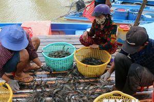 Nông dân Cà Mau tạm 'treo ao' do giá tôm sụt giảm mạnh