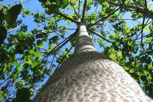 Kinh ngạc 'siêu' cây có thể làm sạch môi trường có ở VN