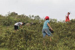 Lên đồi hái sim rừng mỗi ngày kiếm tiền triệu