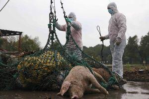 Trung Quốc ngăn chặn khẩn cấp dịch cúm lợn châu Phi