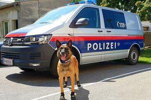 Chó cảnh sát đi giày chống nóng