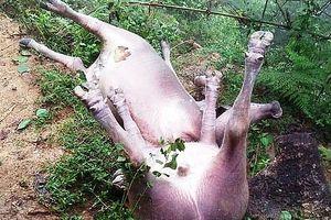 Hà Giang: 8 con trâu bị sét đánh chết
