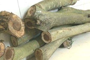 Bắt nhóm người cưa trộm cây gỗ sưa