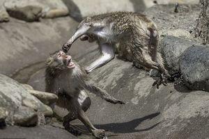 Khỉ tuyết điên cuồng đánh nhau giữa trời nóng bức