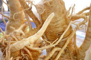 Rễ đinh lăng làm thuốc