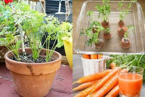 Chẳng cần hạt giống, cứ lấy phần bỏ đi này của cà rốt để trồng, chẳng mấy chốc mà thu hoạch mỏi tay