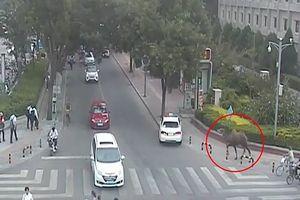 Lạc đà xổng chuồng gây náo loạn đường phố Trung Quốc