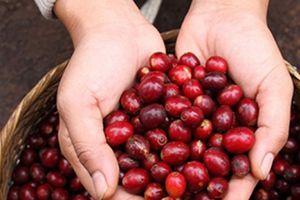 Giá nông sản hôm nay 7/8: Giá cà phê khởi sắc, giá tiêu vẫn chưa ngừng 'rơi'