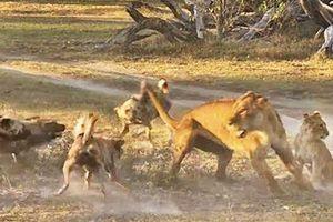 Cái kết bất ngờ cho màn quyết chiến giữa sư tử mẹ và bầy chó hoang