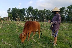Trâu, bò muốn ra đồng gặm cỏ phải 'đóng phí'