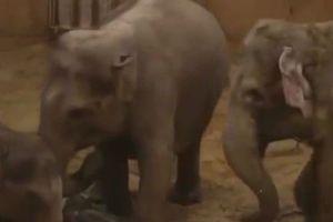 Voi mẹ rơi nước mắt vì không thể cứu con, cả đàn voi cúi đầu