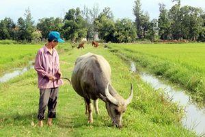 Người dân bị thu phí chăn thả trâu bò