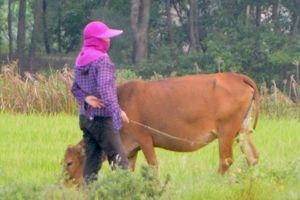 Hợp tác xã thu phí trâu, bò ăn cỏ