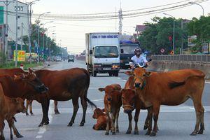 Ôtô tông chết bò, chủ vật nuôi không dám nhận vì sợ bị phạt