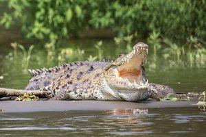 Báo đốm hạ gục cá sấu ngay dưới sông