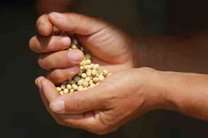 Đậu nành dược liệu - hướng đi mới cho dược liệu sạch