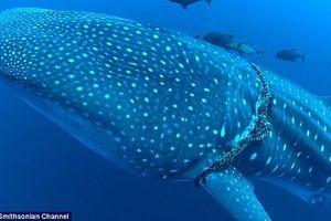 Cận cảnh giải cứu cá mập voi khổng lồ bị dây thừng thắt cổ