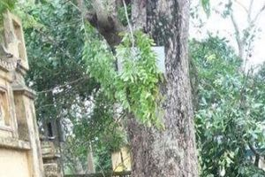Cần sớm thu hồi 8,5 tỉ đồng tiền bán cây sưa để trả lại cho thôn Đông Cốc