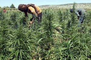 Lebanon - Từ 'rổ bánh mì' thành 'trang trại cần sa'