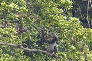 Quảng Nam mua rừng sản xuất để bảo vệ đàn voọc chà vá chân xám