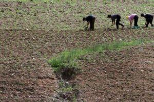 Mùa màng thiệt hại do nắng nóng, cảnh báo khủng hoảng lương thực ở Bắc Triều Tiên