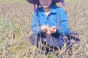 Hà Tĩnh: Mưa lũ 'nuốt' trọn 125ha đậu xanh, nông dân mất tiền tỷ