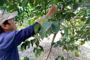 Khéo tay, bắt cây ra quả trái vụ, thủ phủ cam xoàn Lai Vung hốt bạc