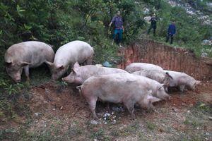 Tiêu hủy lợn vận chuyển trái phép qua biên giới