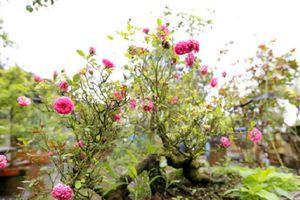 Hoa hồng cổ giá chục triệu ở Đà Lạt liên tục bị đào trộm