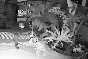 Bắt các băng nhóm chuyên đào trộm hoa hồng cổ ở Đà Lạt