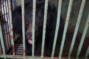 Một người dân Thái Nguyên tự nguyện chuyển giao hai cá thể gấu