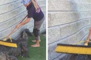 Rùng rợn việc lạ lương cao: Dùng chổi gãi lưng giúp cá sấu thư giãn