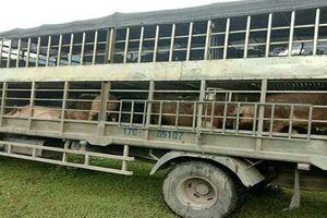 Hải quan Quảng Ninh chặn lợn thịt nhập lậu