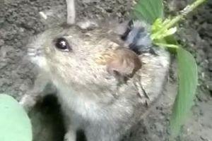 Clip: Hi hữu cây đậu mọc trên lưng chuột cống